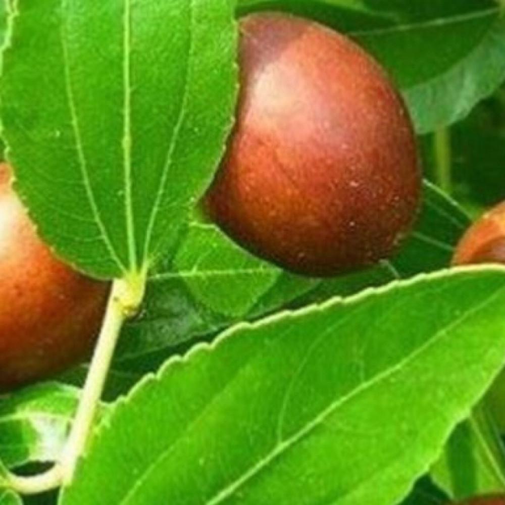 بذور السدر النبق المغربي - Rhamnus