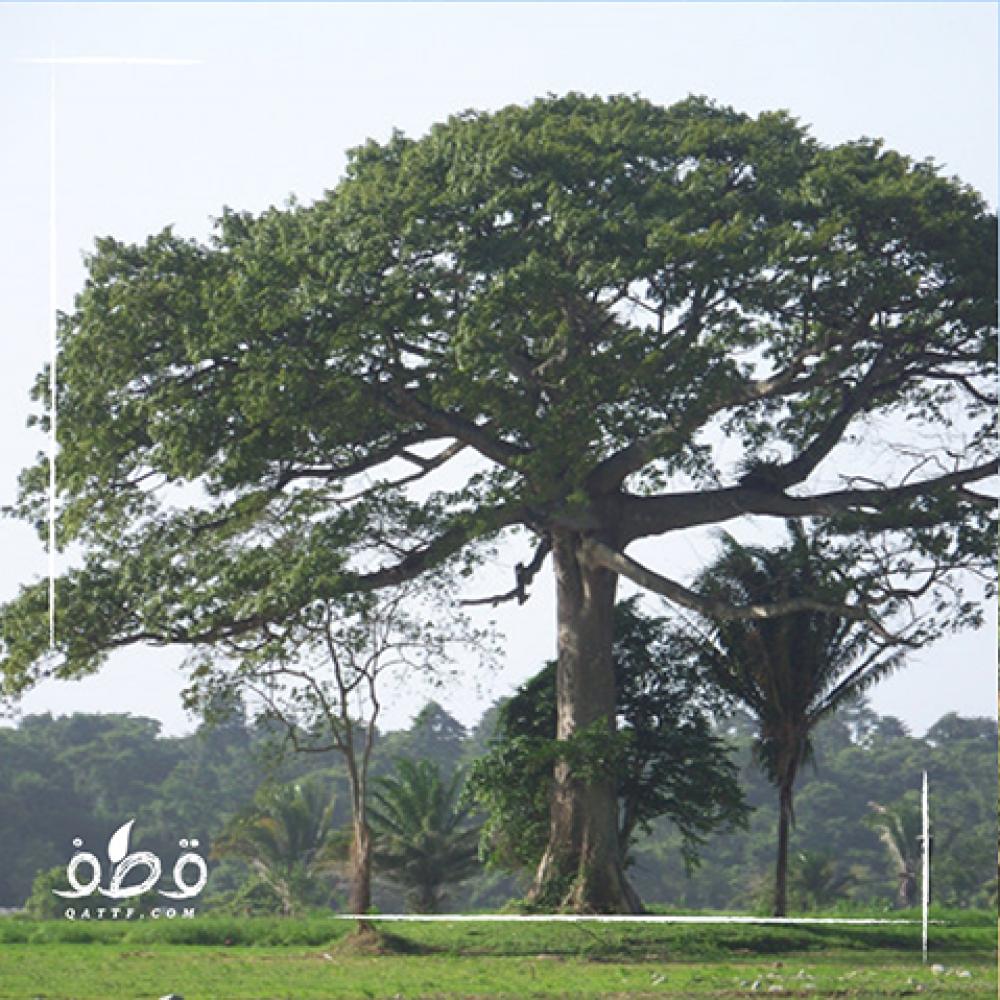 شجرة القطن الكابوك  - Ceiba Pentandra