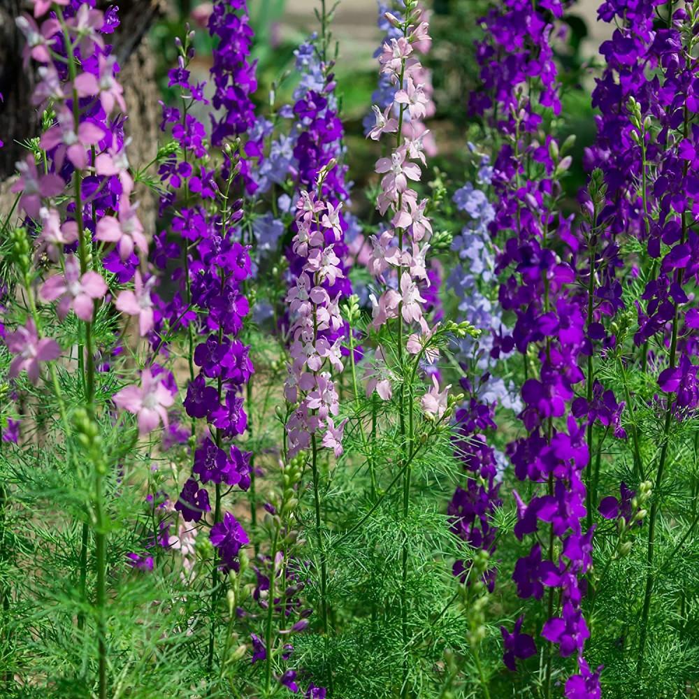 زهرة الدلفينيوم   العائق - Delphinium