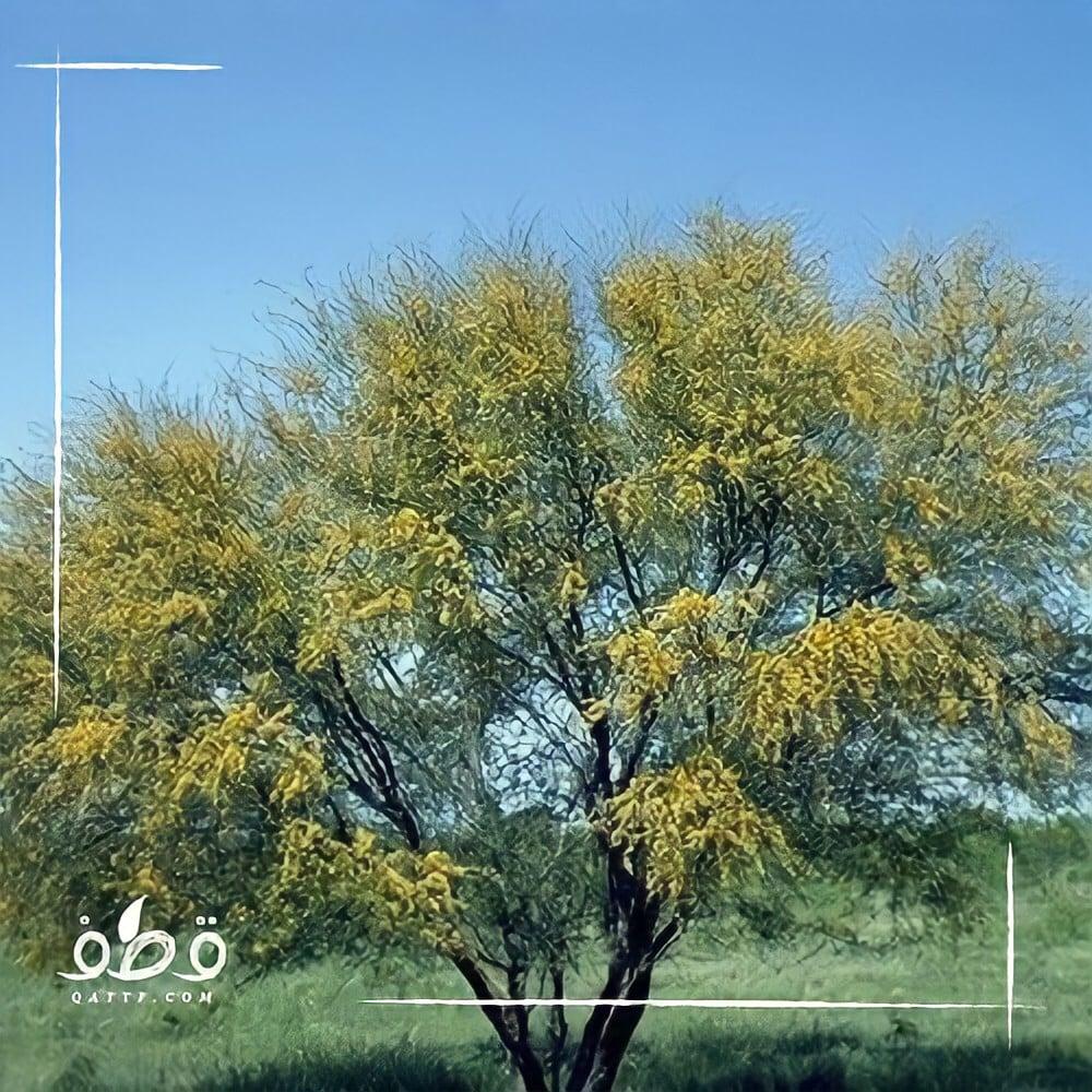 بذور  طلح أو سنط أو  قرض الفتنة acacia farnesiana