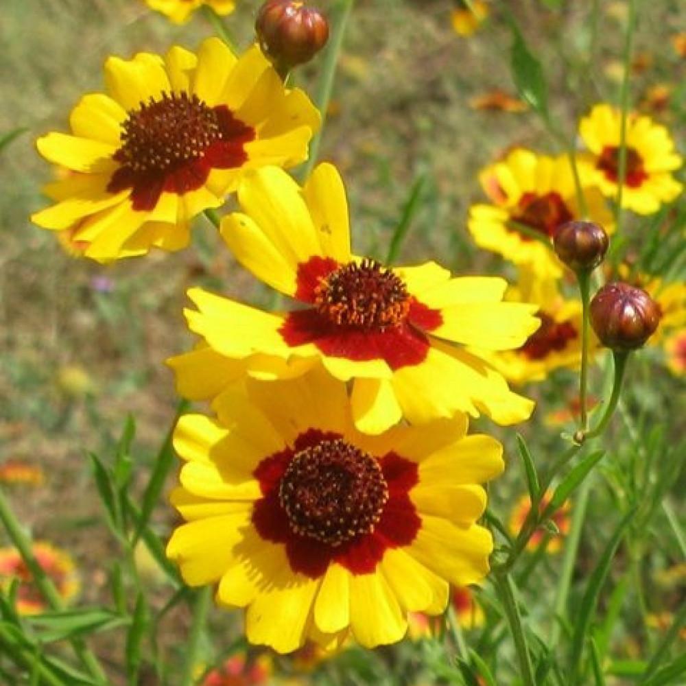 زهرة كوريوبسس الذهبية - Coreopsis Tinctoria