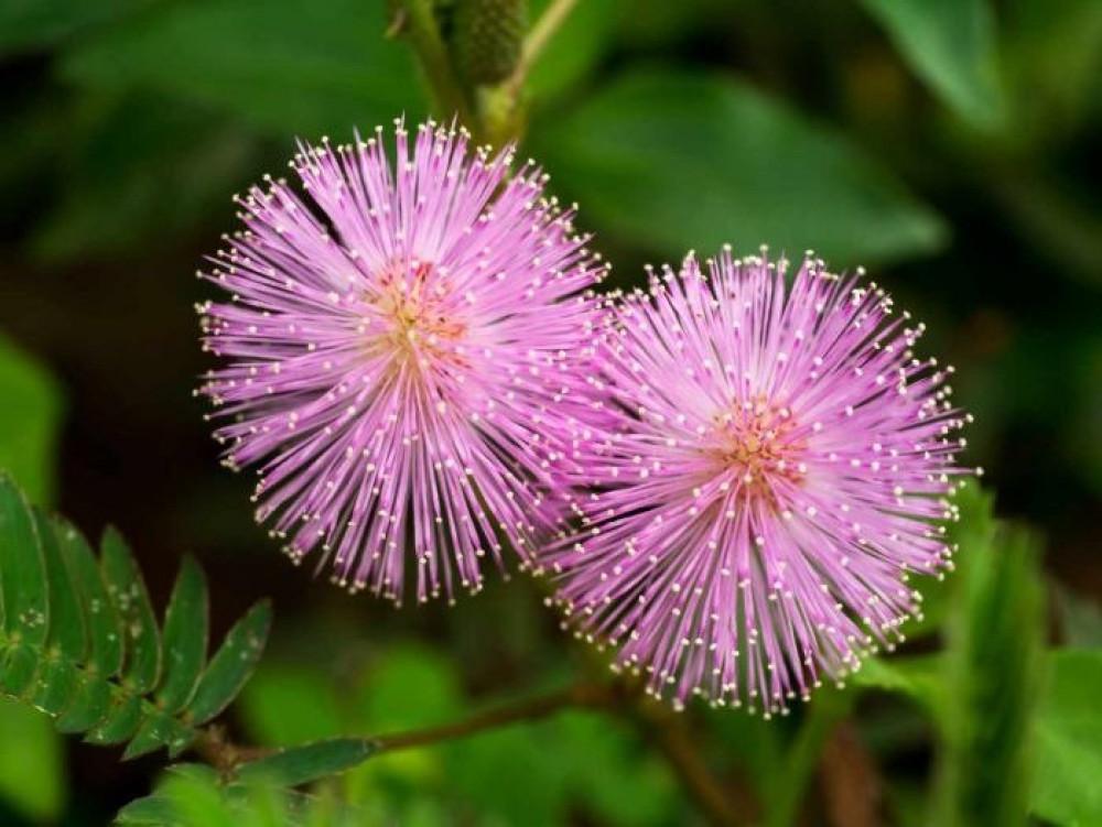 بذور ميموسا بوديكا  الخجولة - Mimosa Pudica