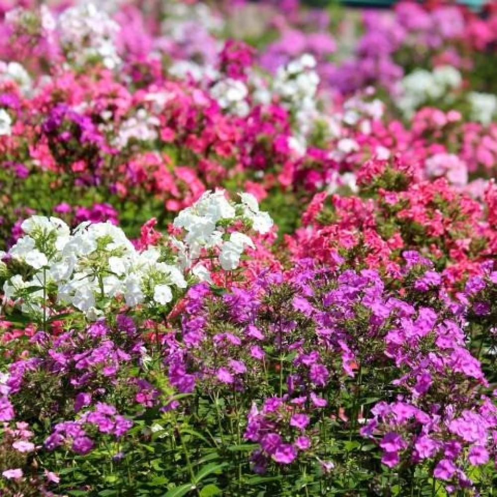 زهرة قبس الحديقة  فلوكس  Phlox