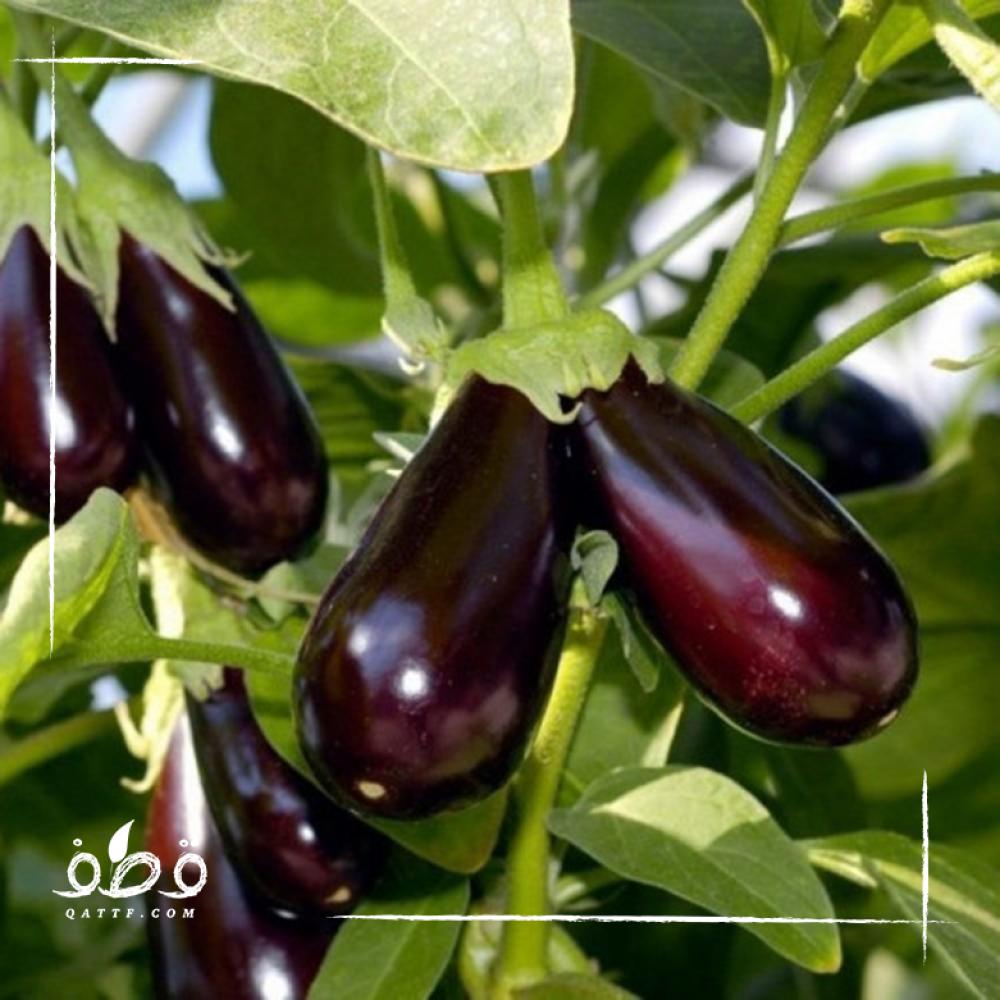 بذور الباذنجان أسود - Solanum melongena