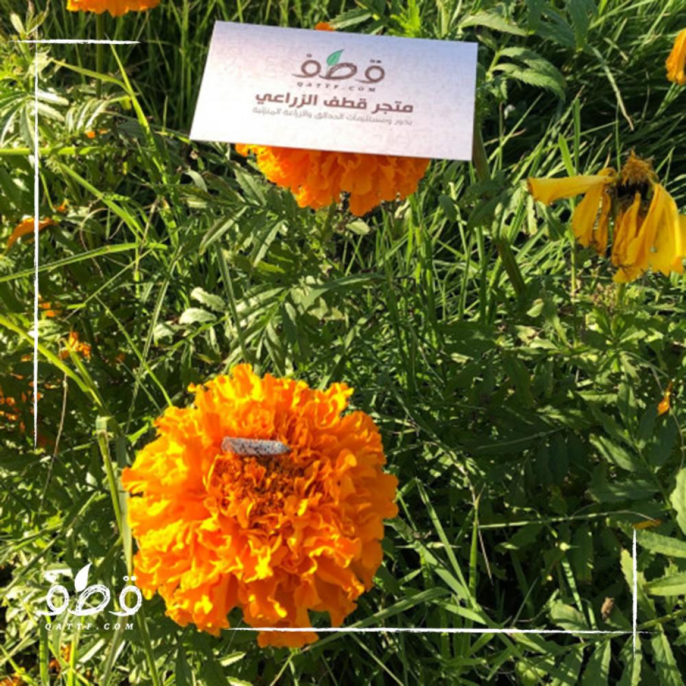 بذور زهرة القطيفة المخملية - Tagetes erecta