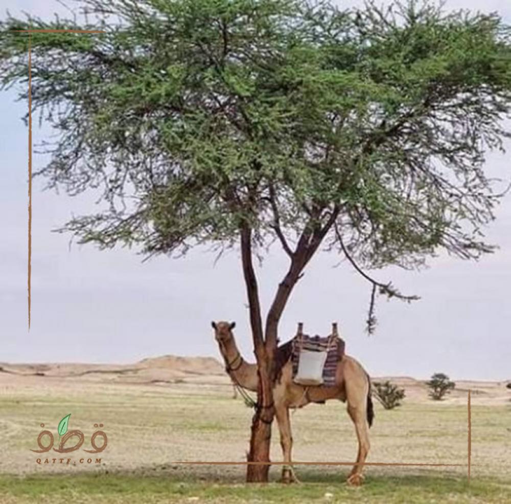 بذور  طلح أو سنط أو  قرض سوداني