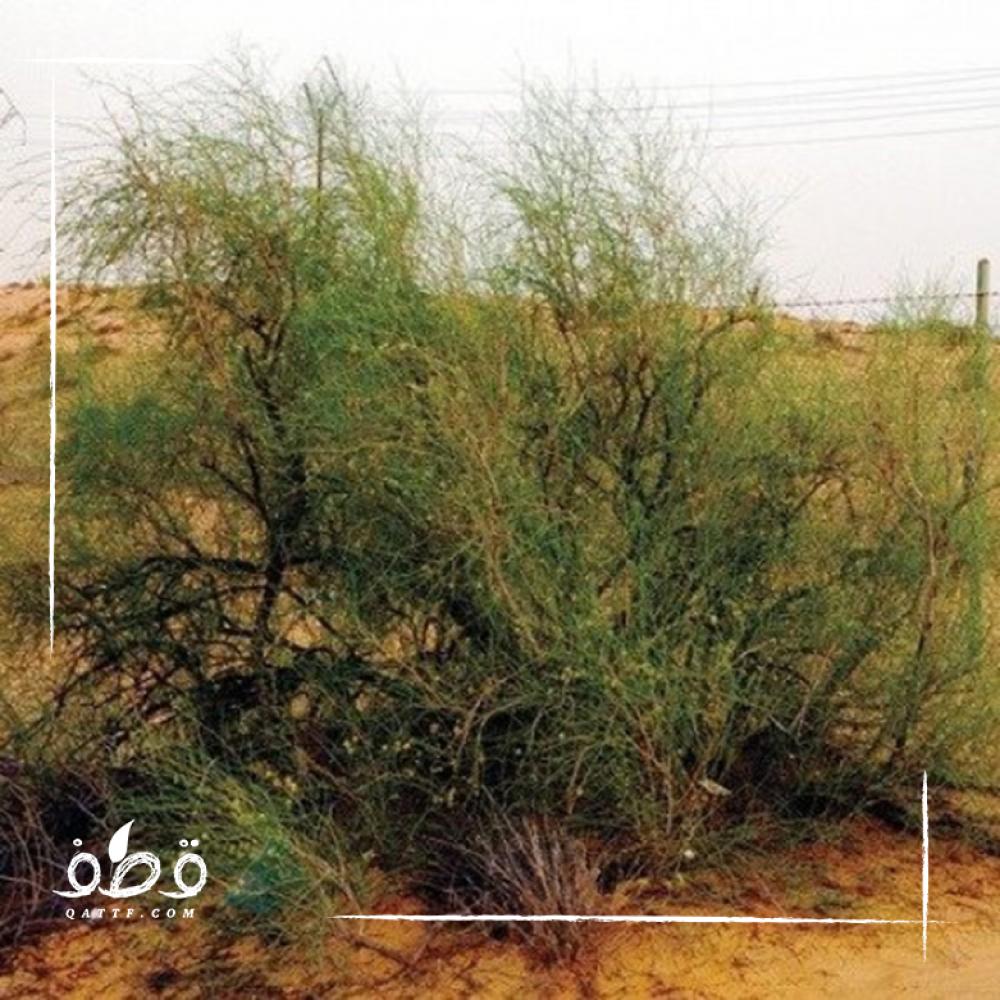 بذور شجرة الارطى Calligonum