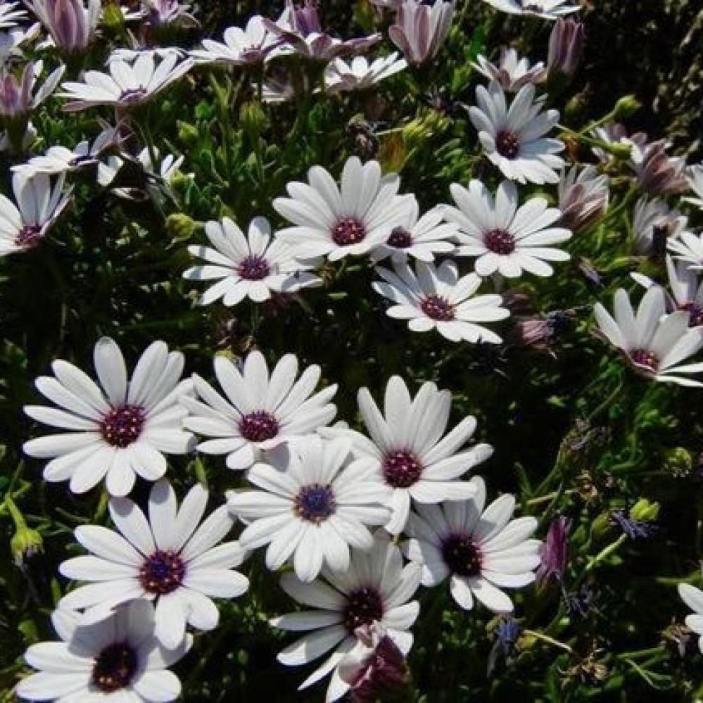 بذور زهور ديمورفوتيكا  اللؤلؤة الافريقية الابيض - Dimorphotheca