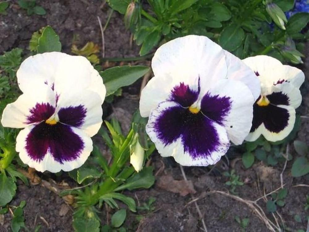 بانسي البيضاء ثالوث - Viola Wittrockiana