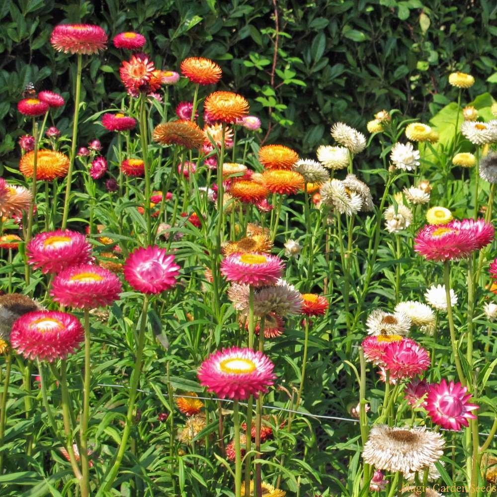 بذور  زهرة الخلود هليكريزم  - Helichrysum spp