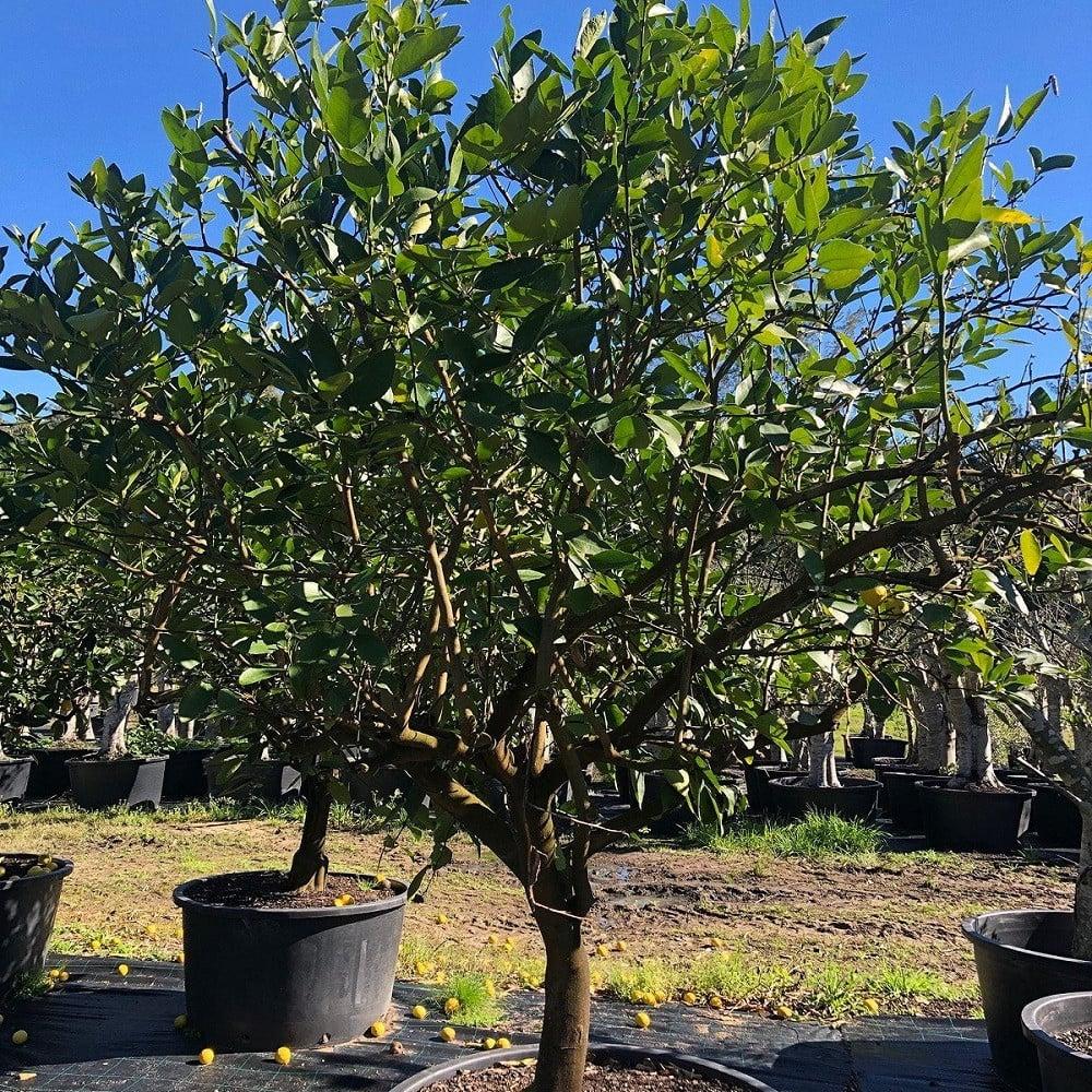 شجرة ليمون بنزهير - Lime