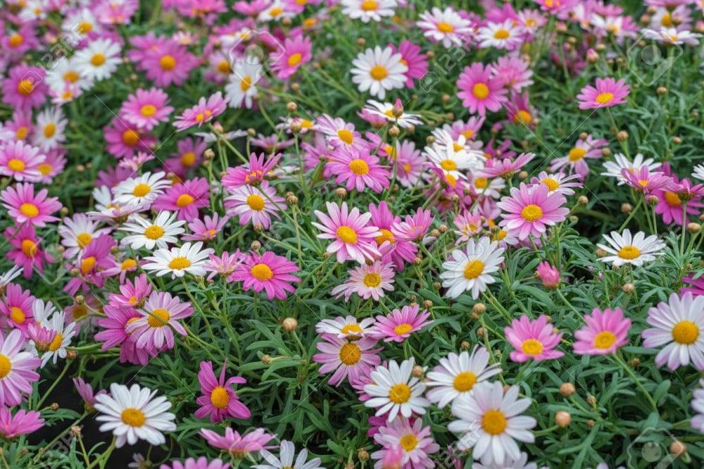 زهرة مارجريت  أقحوان الكناري - Argyranthemum Frutescen