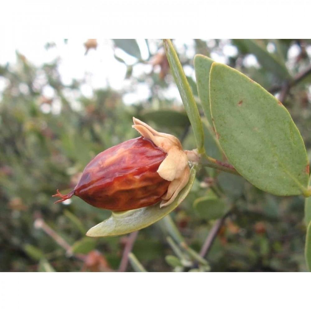 بذور  جوجوبا - Simmondsia Chinensis