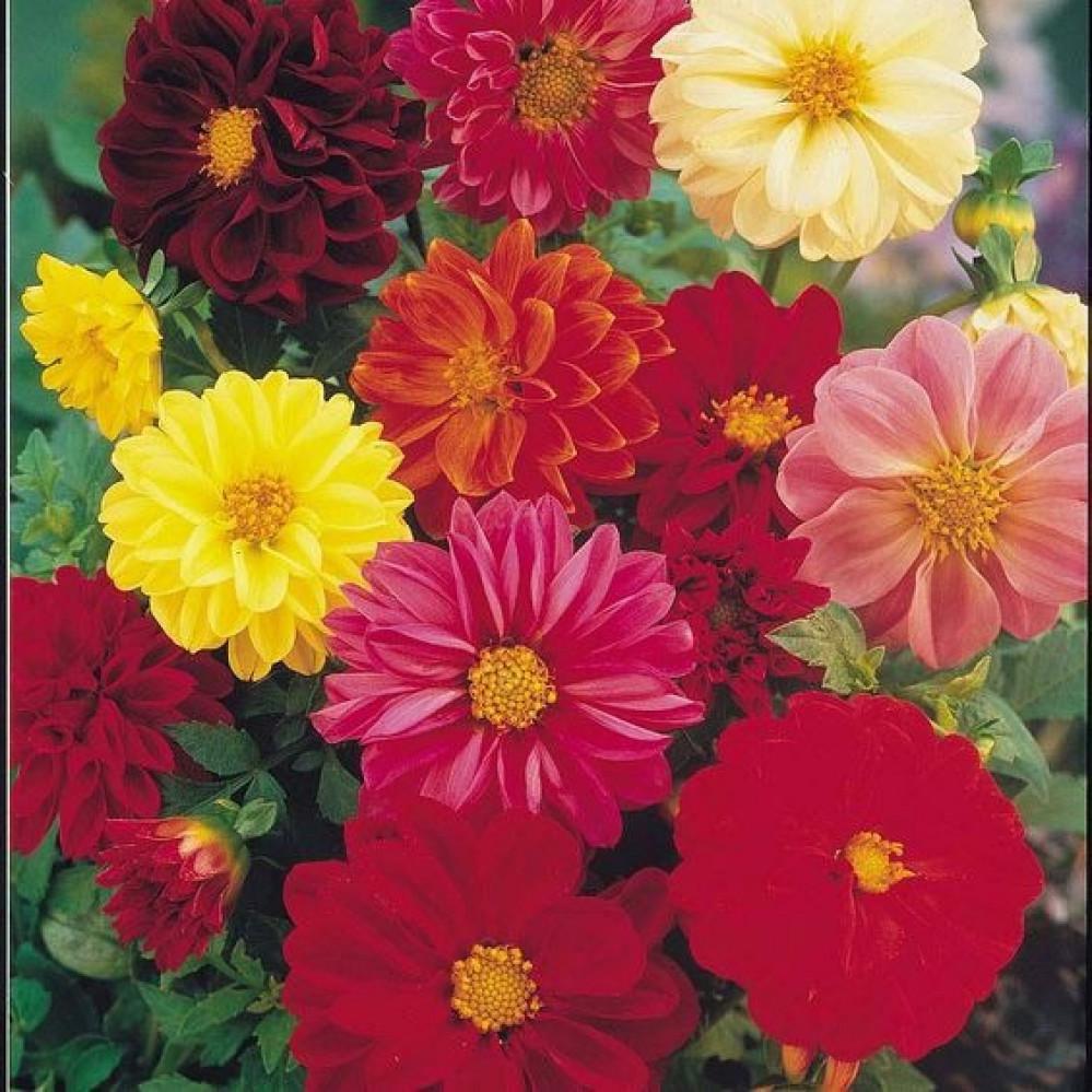 بذور زهور الاضاليا   Dahila Variabilis