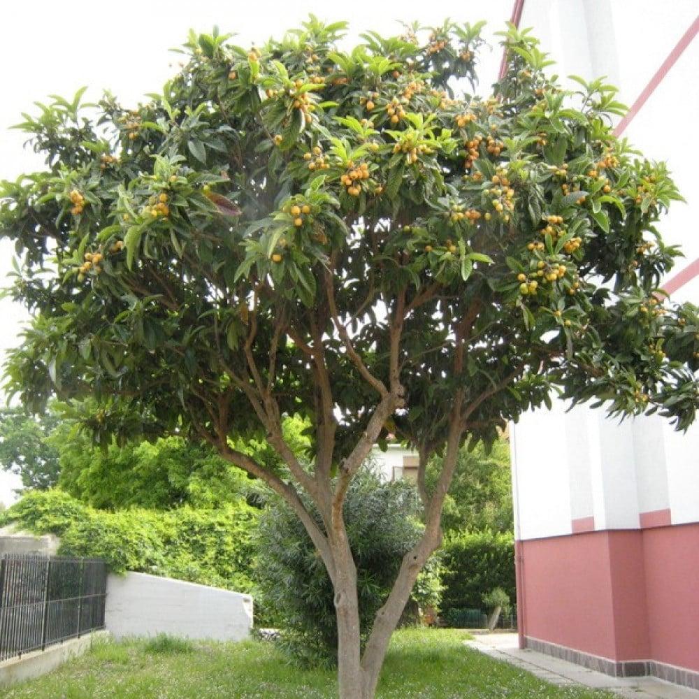 بذور فاكهة البشملة   اسكدنيا  Eriobotrya