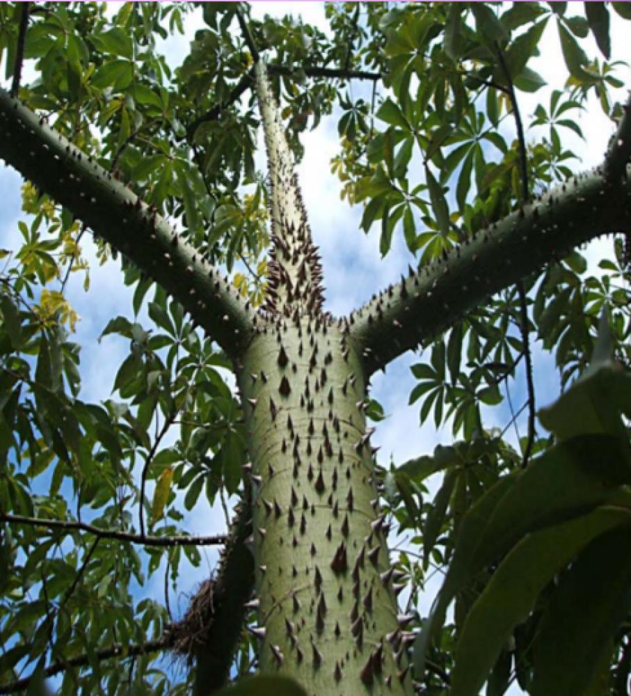 شجرة كوريزيا - Chorisia speciosa