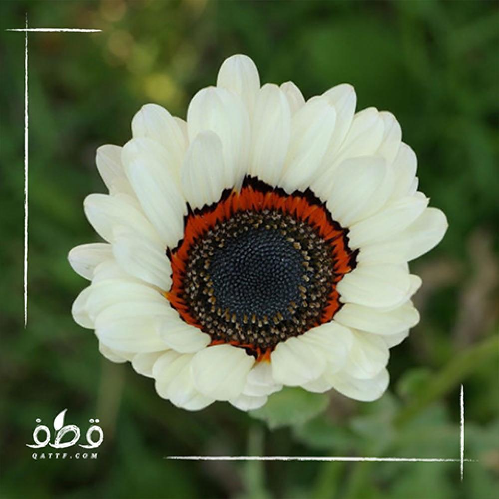 زهرة ملكة الحقل - اركتوتس -Arctotis Fastuosa