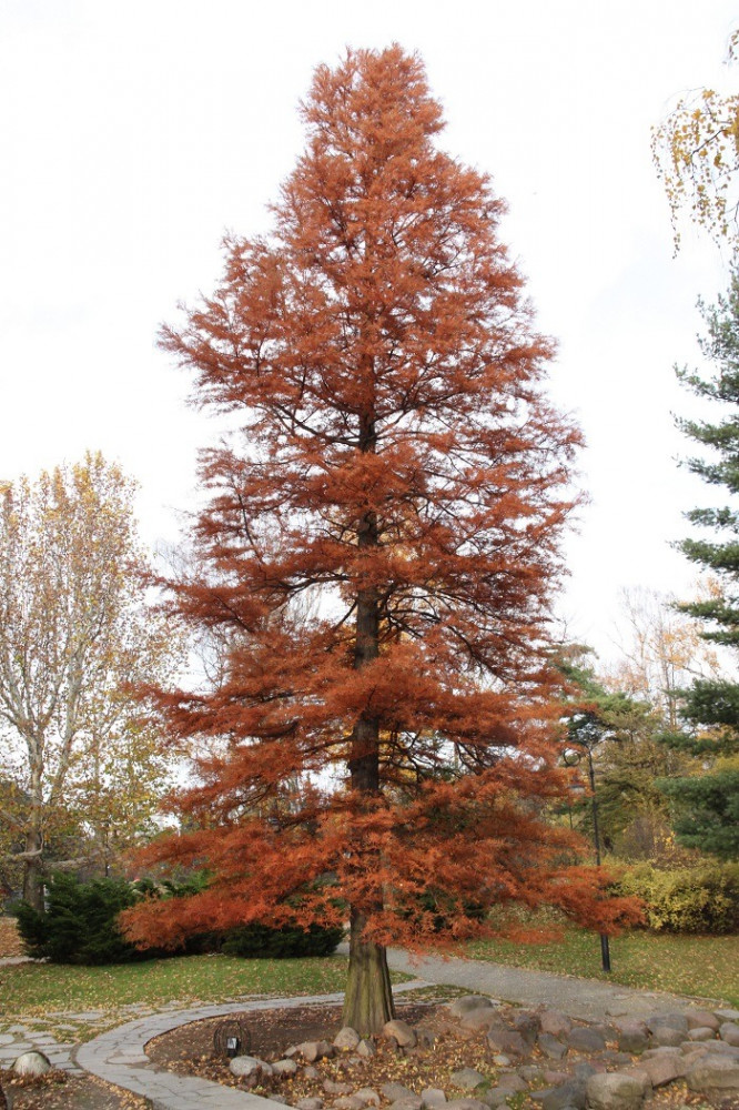 بذور شجرة  تاكسوديوم - Taxodium Distichum