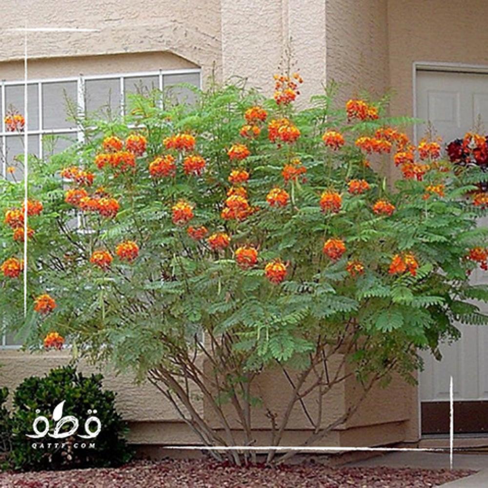 شجرة سيزلبينيا - Caesalpinia gilliesii