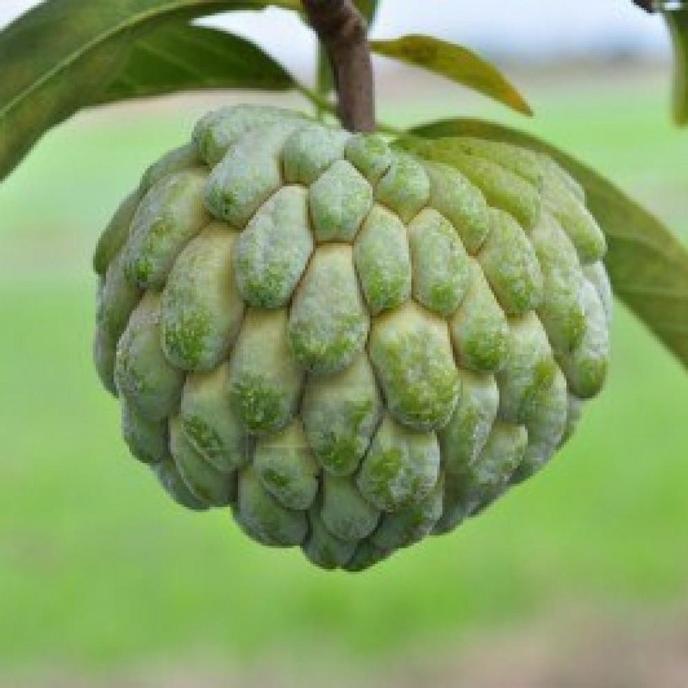 فاكهة القشطة -  Annona sp