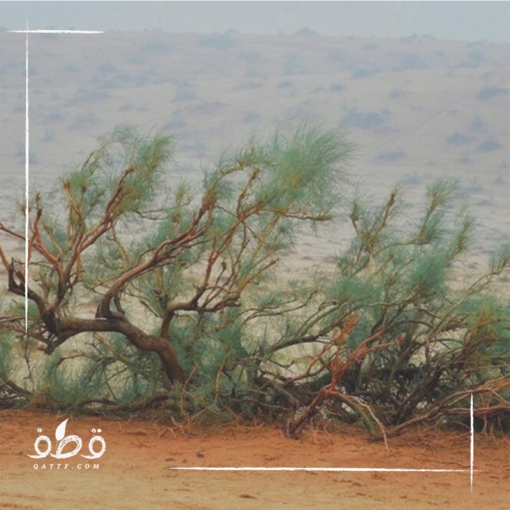بذور شجرة الغضا - Anabasis ammodendron