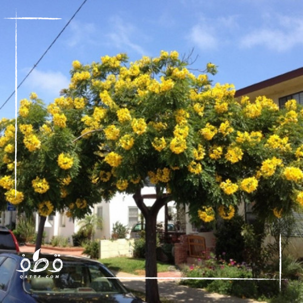 بذور  شجرة تيكوما  ستانس -  Tecoma  Stans