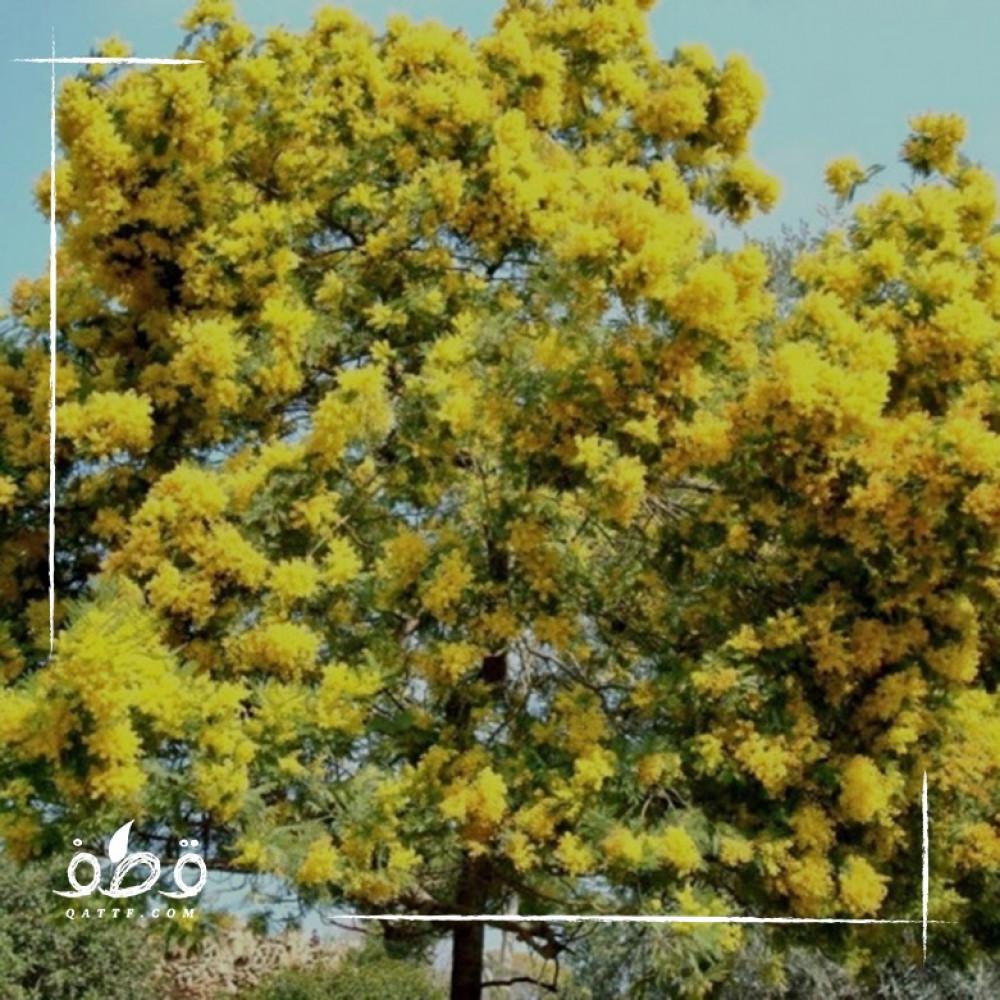 بذور  طلح أو سنط أو  قرض سكلوسبرما Acacia sclerosperma