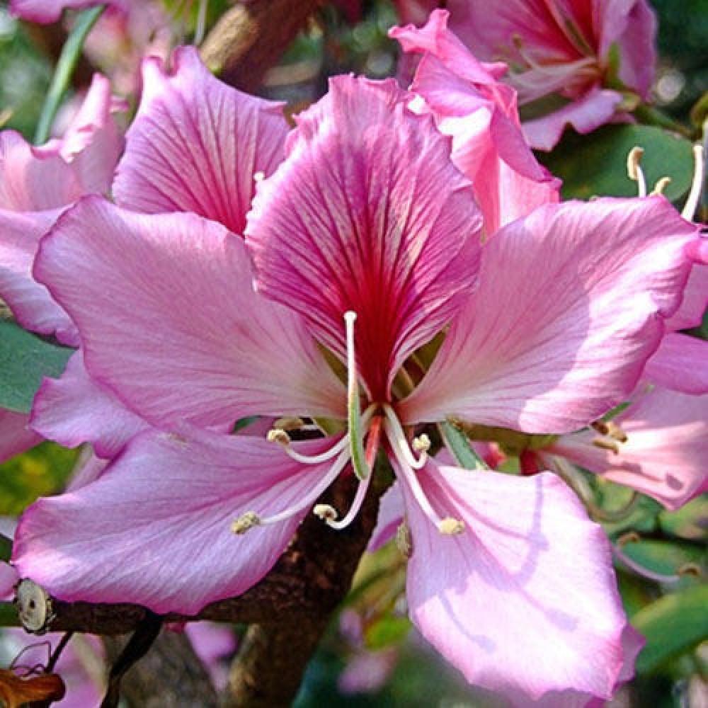 زهرة بوهينيا خف الجمل  Bauhinia variegata