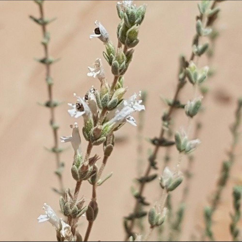بذور الزعتر البري المحلي - Thymus Musilii