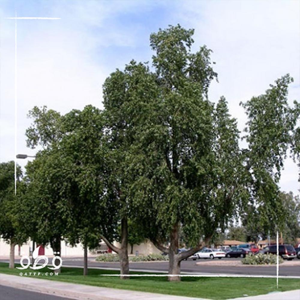 شجرة استركوليا مخمسة - Brachychiton Populneus
