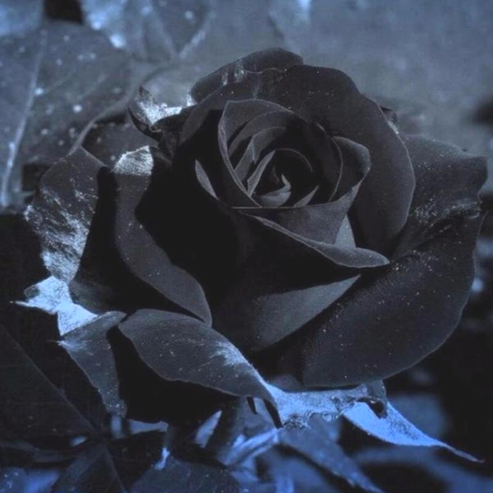بذور الجوري الاسود   Rosa  Damascena