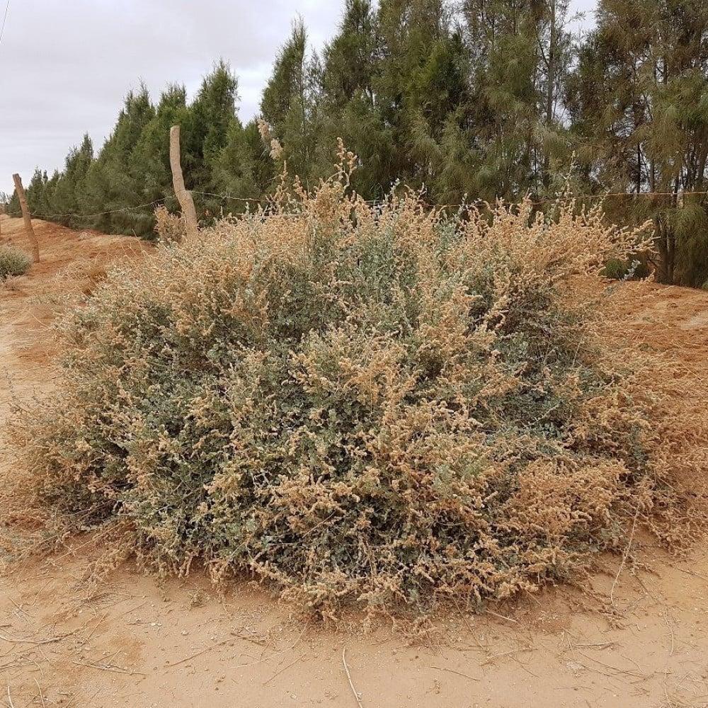 عشبة الرغل - Atriplex halimus