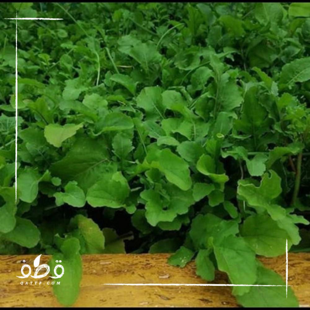 بذور الجرجير - Eruca vesicaria ssp sativa