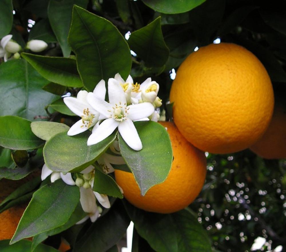 بذور النارنج أصل الحمضيات - Citrus Aurantium