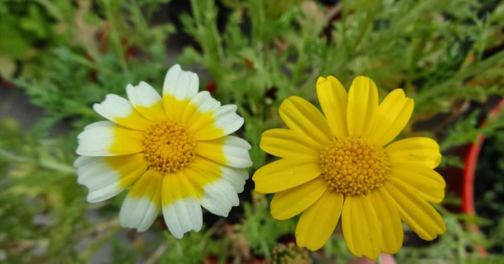 بذور الاقحوان التاجي - Chrysanthemum Coronarium