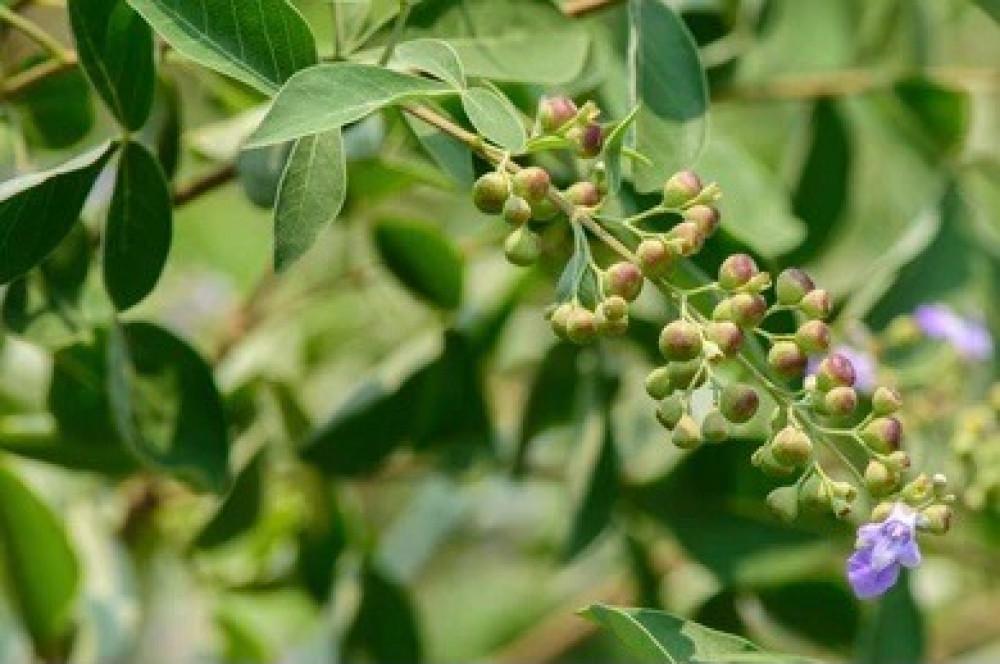 بذرة شجرة الوايتكس أو الفيتكس
