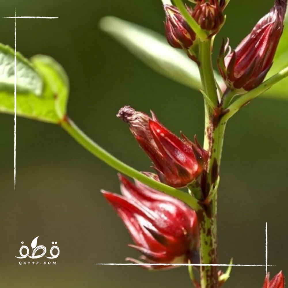 بذور الكركديه - Hibiscus sabdariffa