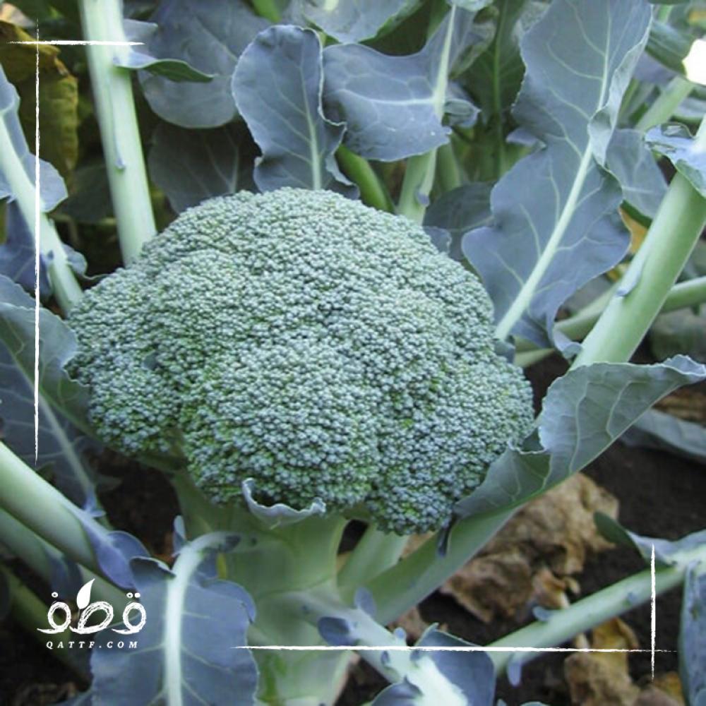 بذور بروكلي  - Brassica oleracea var italica