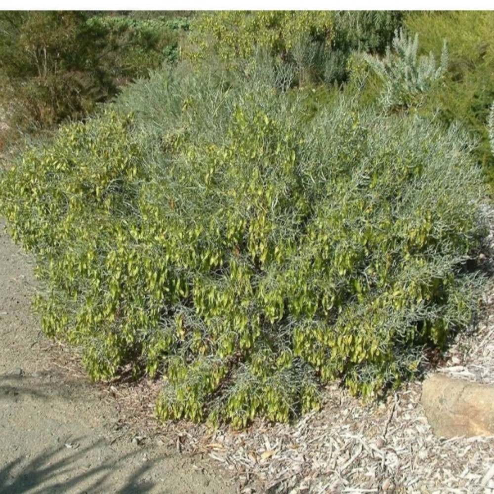 شجيرة جوجوبا - Simmondsia Chinensis