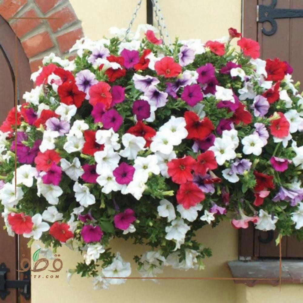 بذور زهرة بيتونيا - Petunia