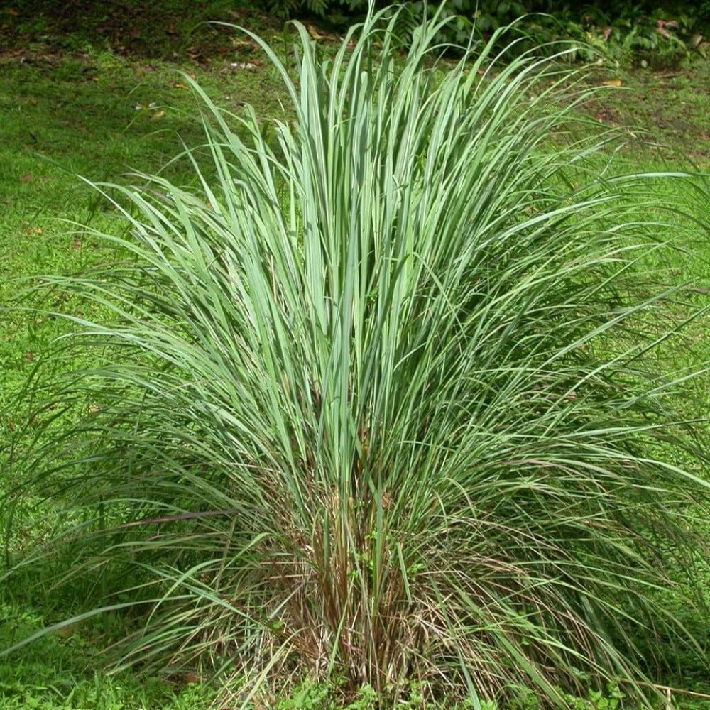 عشبة الاذخر المكي - Cymbopogon Schoenanthus