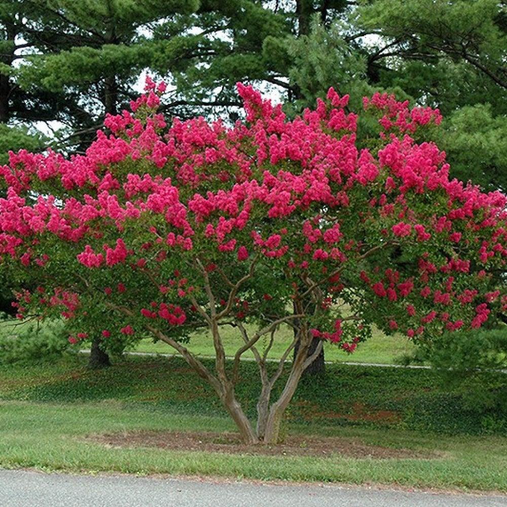بذور شجرة تمر حنا - وردة القهوة  Lagerstroemia indica
