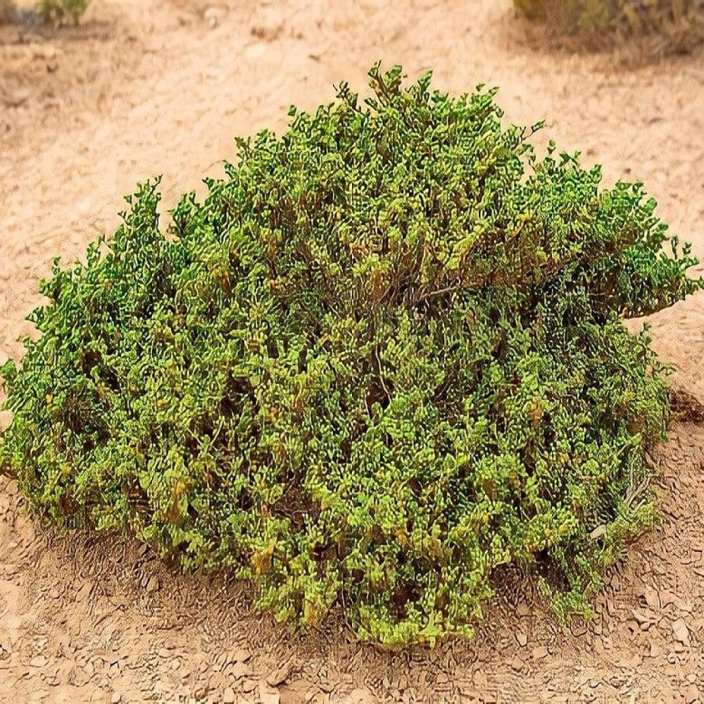بذور القرمل - Zygophyllum Simplex