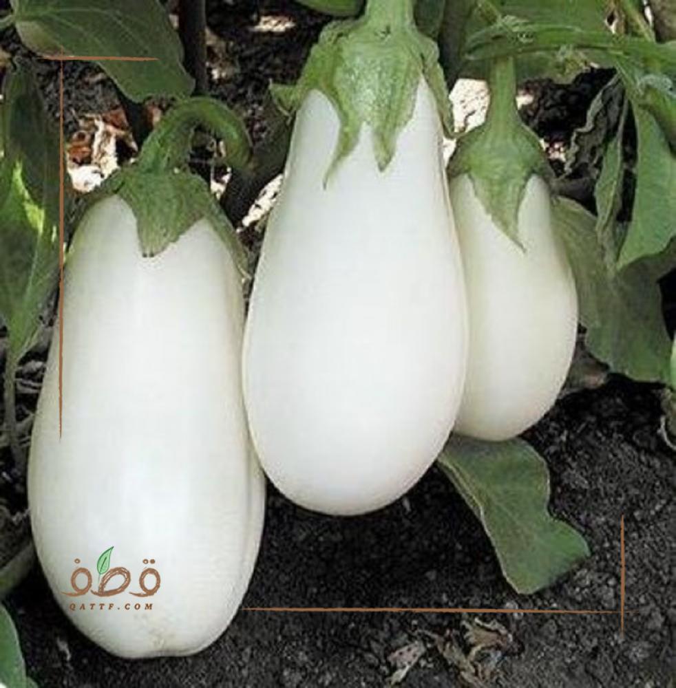 بذور الباذنجان الأبيض