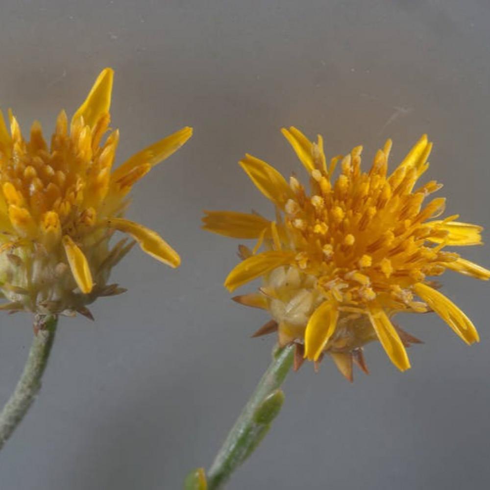 زهرة شجرة العرفج Rhanterium epapposum