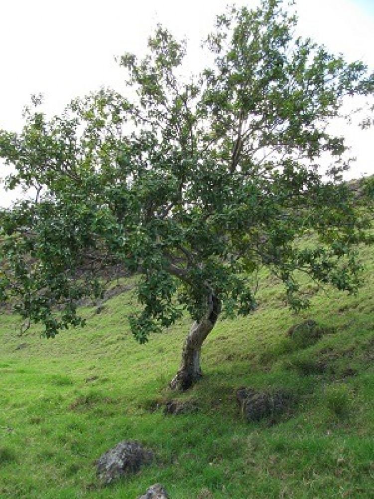 شجرة فاكهه الجوافة الحمراء - Psidium guajava