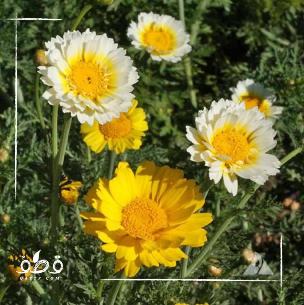 الاقحوان التاجي - Chrysanthemum Coronarium