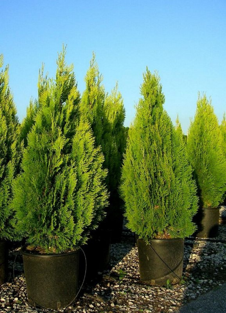 شجرة الثويا -  Thuja Orientalis