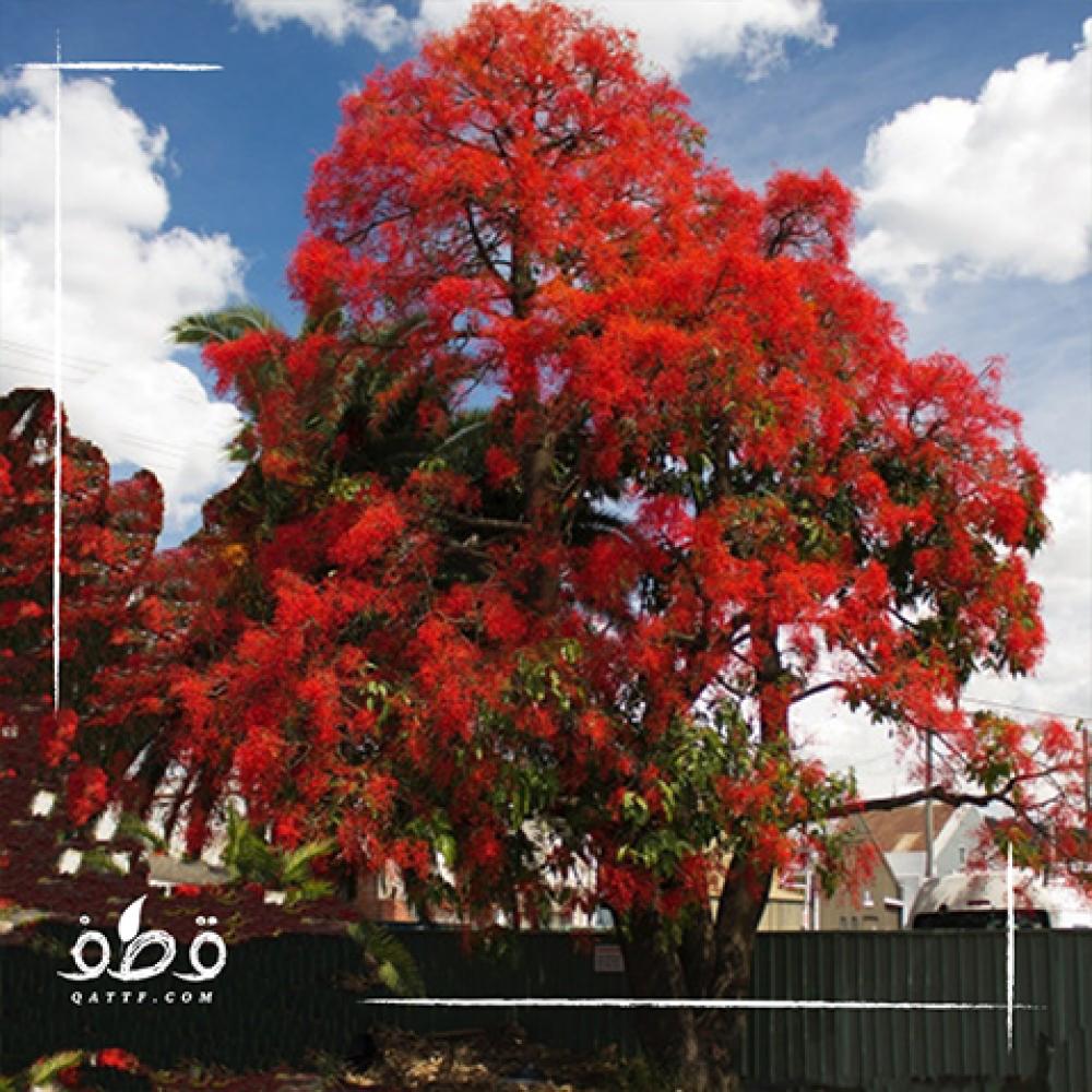 شجرة استركوليا لوريدا  -Brachychiton Discolor