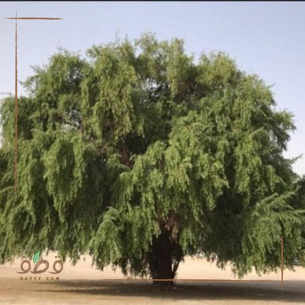 بذور شجرة السدر المحلي  النبق Ziziphus spina-christi